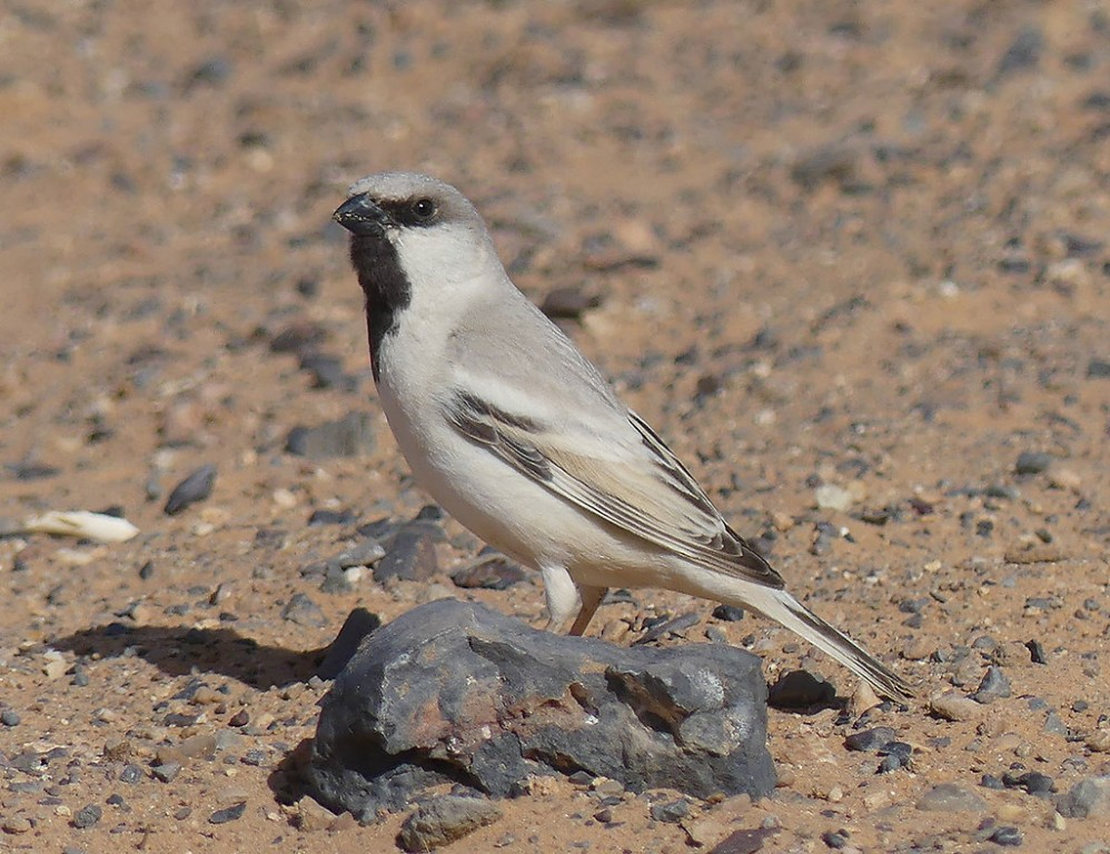 Here we'll search for Desert Sparrows… (SM)