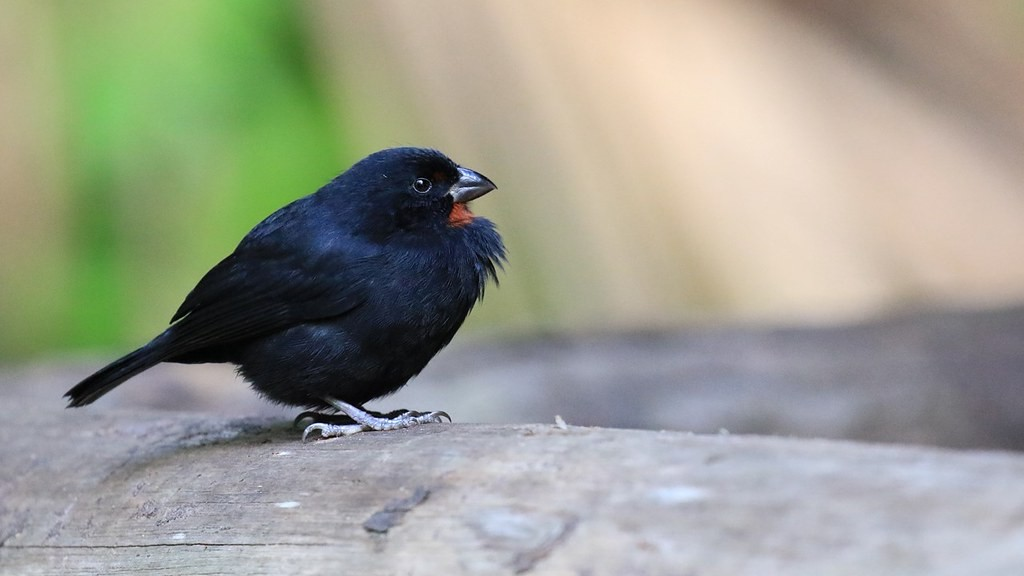 As with many species in the region, the Lesser Antillean Bullfinch has 8 subspecies endemic to select islands.