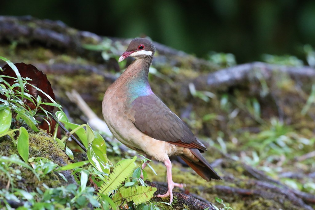 Our time on Guadeloupe promises close encounters with normally secretive species such as Bridled Quail Dove (Béatrice Henricot).