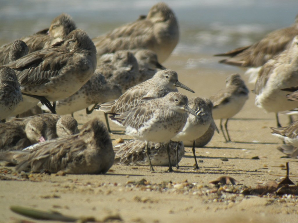 and where the shoreline along the Cairns esplanade supports huge numbers of waders at this time of year,