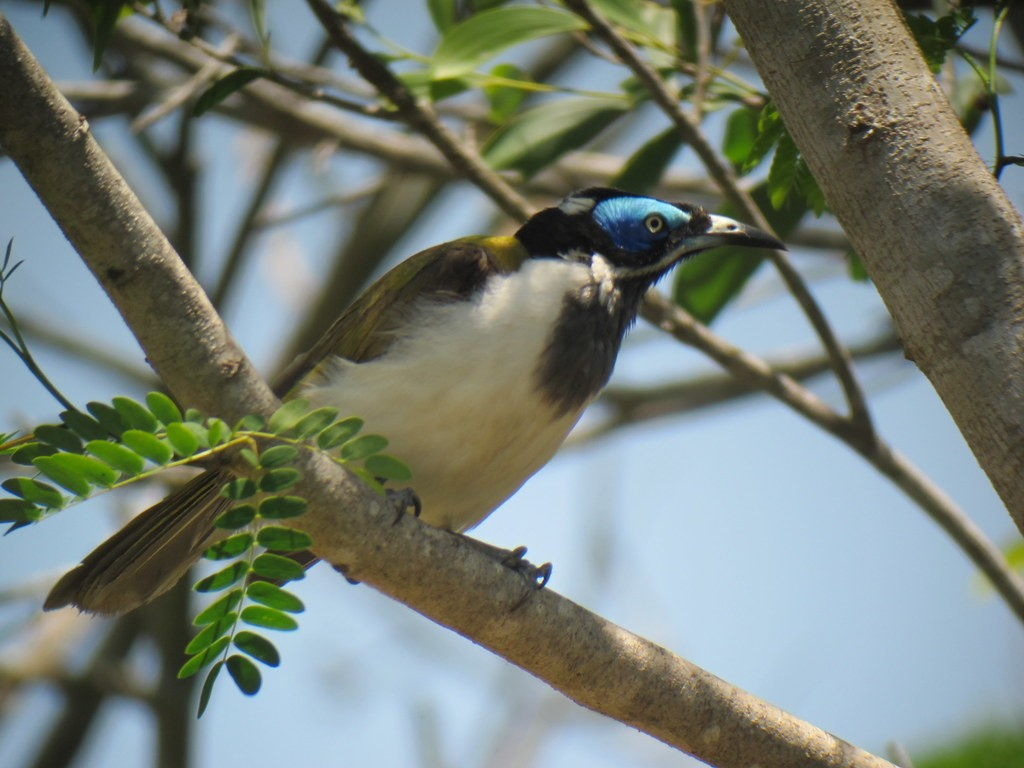 gorgeous Blue-faced Honeyeater,