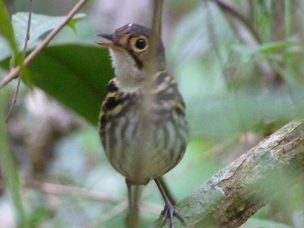 …the vocal but shy Streak-chested Antpitta…