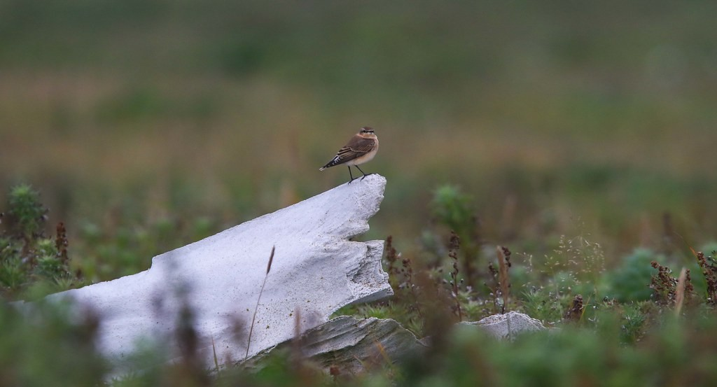 …and harbor a wider array of passerines like this Northern Wheatear, heading off to Sub Saharan Africa…