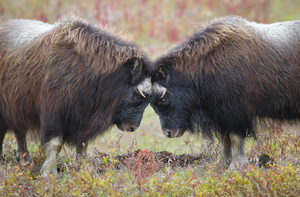 …or see head-locking Musk Ox or…