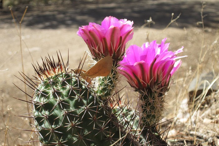 Many Sonoran Desert cacti should be in bloom during our tour.