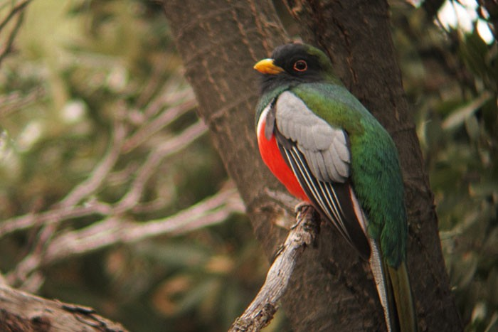 Elegant Trogon is perhaps the iconic bird of Southeast Arizona's mountain canyons.