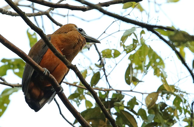 The Capuchinbird is amazing visually and vocally.