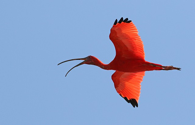 Scarlet Ibis is no less stunning for being common in its preferred habitat.