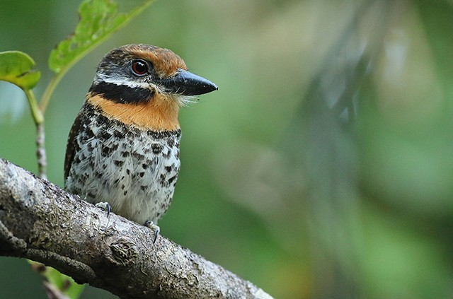 The handsome Spotted Puffbird.