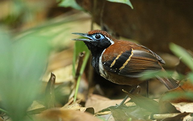 Ferruginous-backed Antbird is one of the family's more attractive representatives.
