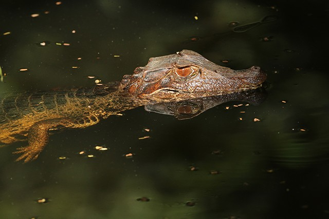 Dwarf Caiman is a scarce reptile often seen on the Guyana tour.