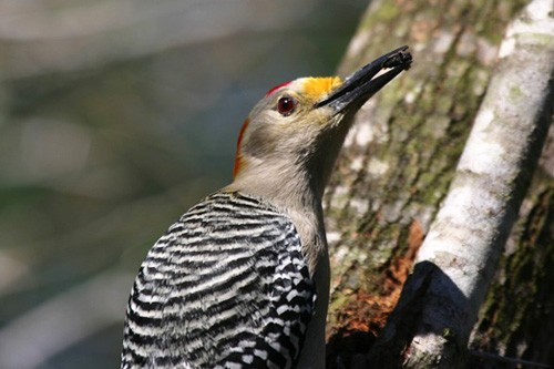 The attractive  and noisy Golden-fronted Woodpecker is abundant throughout the valley.