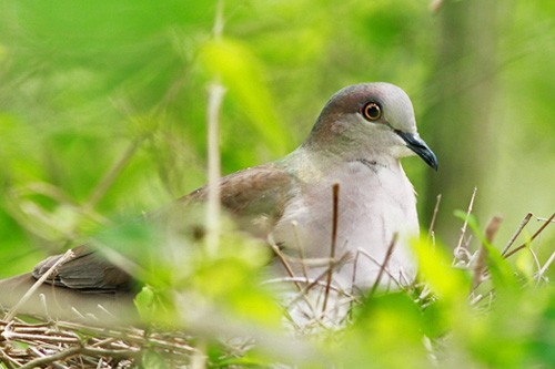 In April many of the local birds are immersed in breeding activity; here a White-tipped Dove incubates its clutch of eggs.