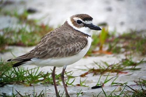The sandy beaches and inland lagoons of the coast support huge numbers of local and migrant waders such as this attractive Wilson's Plover.