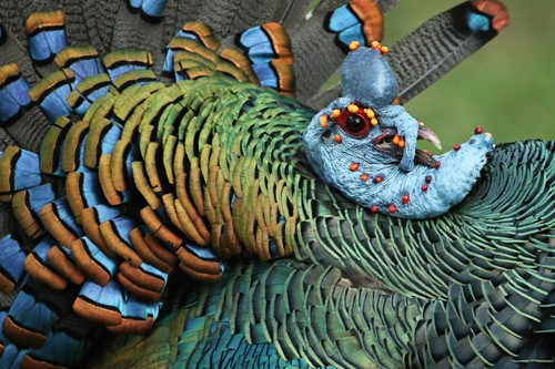 The stunning colors of Ocellated Turkey in this close-up