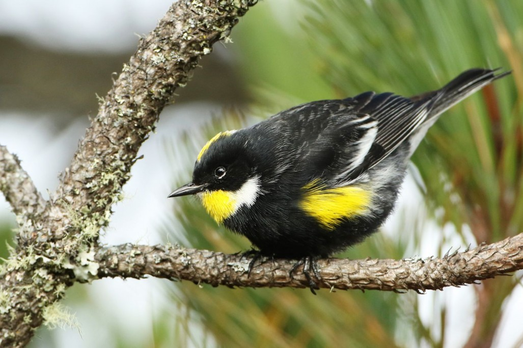 Goldman's Warbler, a distinctive relative of Yellow-rumped Warber, is found only in Guatemala.