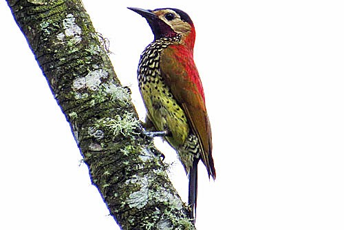The Crimson-mantled Woodpecker is perhaps the most colorful New World woodpecker,