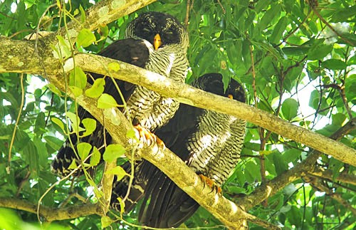 Finding a roosting pair of Black-and-white Owls isn't always expected and makes the short list of favorite birds on the Costa Rica tour.