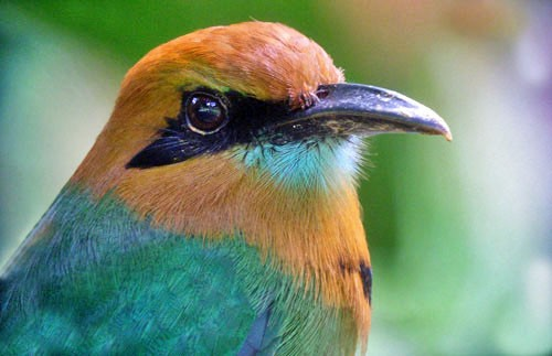 Broad-billed Motmot is one of the many tropical species that have made Costa Rica famous.