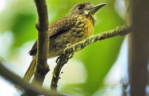 White-whiskered Puffbird is always a lucky find in low-elevation rain forests with lots of vines.