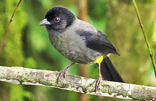 The aptly named Yellow-thighed Finch is a common sight on our trip to the highlands at Cerro de la Muerte.