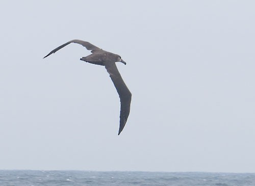 Black-footed Albatross is one of the expected species some 20 miles from shore on our pelagic extension.