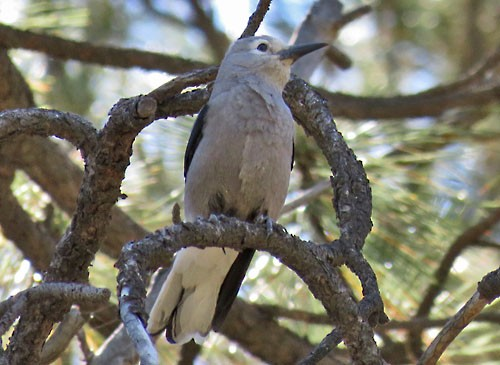 Clark's Nutcracker numbers vary widely from year to year but we usually managed to find a few.