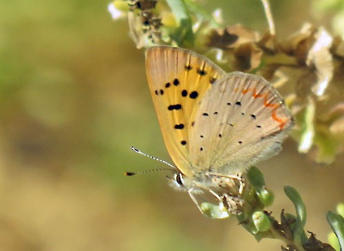 We pause for late season butterflies, such as this American Copper.