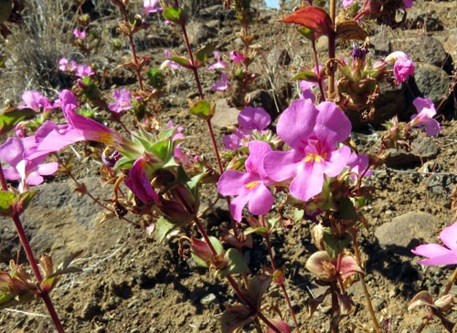 Late summer wildflowers usually include roadside patches of Cusick's Monkeyflower.