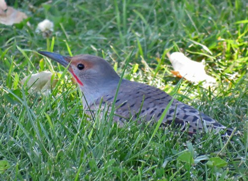 "The ""Red-shafted"" Northern Flicker hunts for ants on the ground."