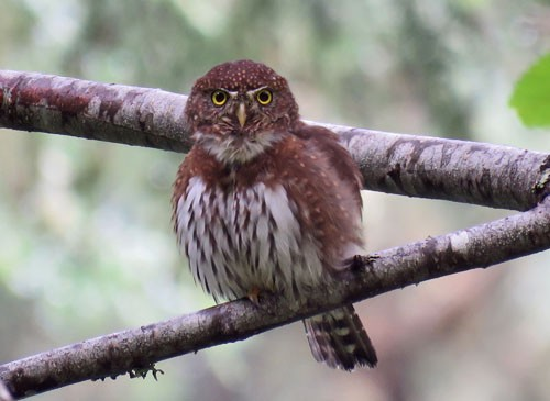 Northern Pygmy-Owl is often a favorite bird on our Oregon tours.