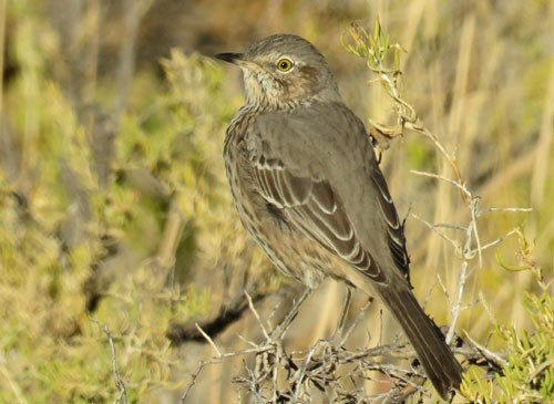 Sage Thrashers abound in the late summer in Oregon's Great Basin desert.