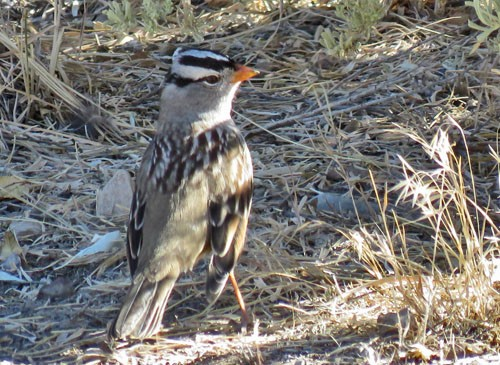 White-crowned Sparrows of the arctic-breeding subspecies <i>gambelii</i> are already moving through eastern Oregon this time of year.