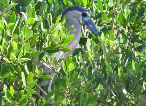 We make an effort to find Boat-billed Heron on our mangrove boat ride on the northern Yucatan coast.