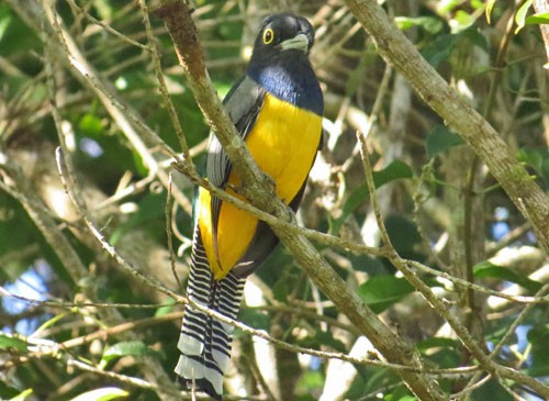 A Gartered Trogon offers a taste of the tropics in the taller forests of the southern part of the peninsula.