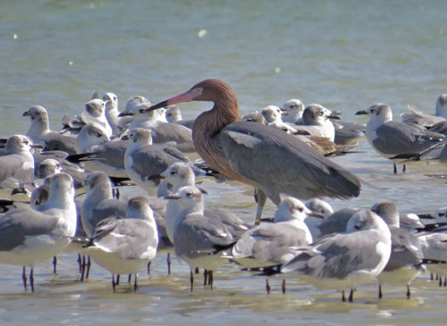 A Reddish Egret finds shelter in a flock of Laughing Gulls on the Ria Lagartos estuary.