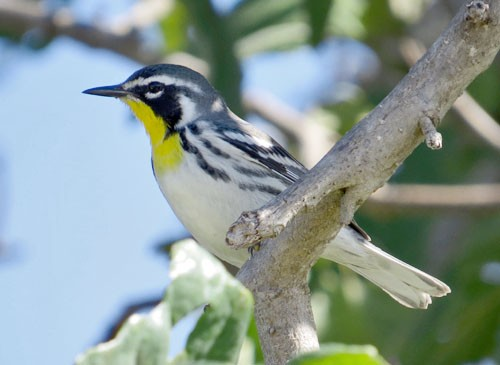 We bird the Yucatan and Cozumel where many migrants such as Yellow-throated Warbler come for the winter.