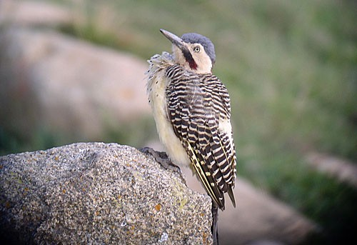 Colorful Andean Flickers often animate the often stark puna habitats of the high Andes.