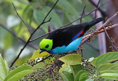 It seems ironic that the most colorful member of mixed flocks is also one of the most common: Paradise Tanager.
