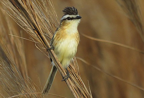 The spritely Sharp-tailed Tyrant is a local specialty of the high-quality grasslands at Barba Azul Nature Reserve.