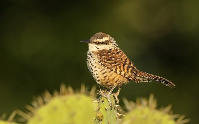 Boucard's Wren is a fairly common resident in the scrubby deserts of the Oaxaca Valley.