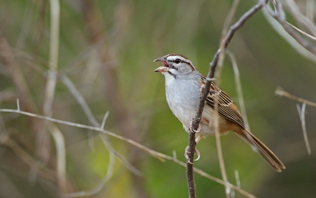 Sparrows feature strongly on this tour: the sharp Sumichrast's (or Cinnamon-tailed) Sparrow is one of the most local, only found on the Pacific slope of the isthmus of Tehuantepec.