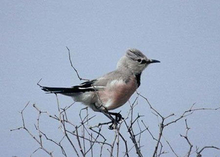 ...none more so than Pander's Ground Jay, a bird restricted to Uzbekistan and Kazakhstan.