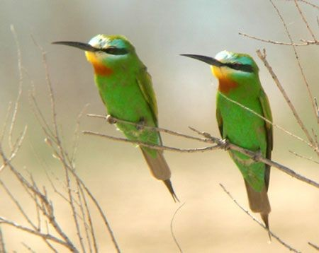 Other birds in this landscape include lots of colorful Blue-cheeked Bee-eaters...