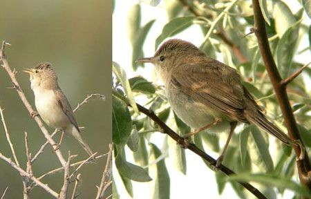 ...while the monotone Eastern Olivaceous and Sykes's Warblers present something of an identification challenge.
