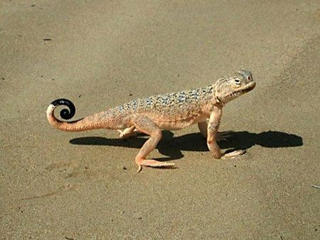 Not all of the attractions are avian – this Toad-headed Agama is one of several distinct lizards found in the desert.