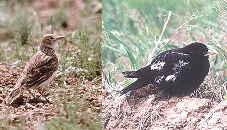 Another special pair of birds await us in the vast northern steppes are White-winged and Black Larks.