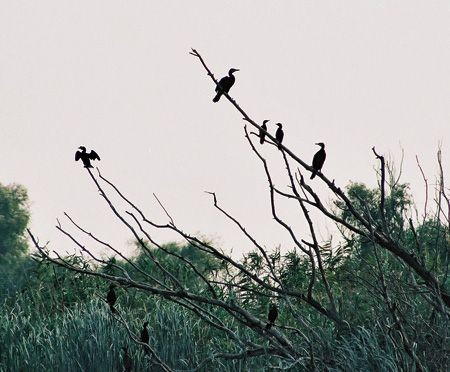 Great and Pygmy Cormorants gather above the reed beds at sunset.