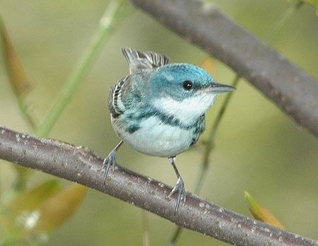 The aptly named Cerulean Warbler is a declining breeder in hardwood forest.