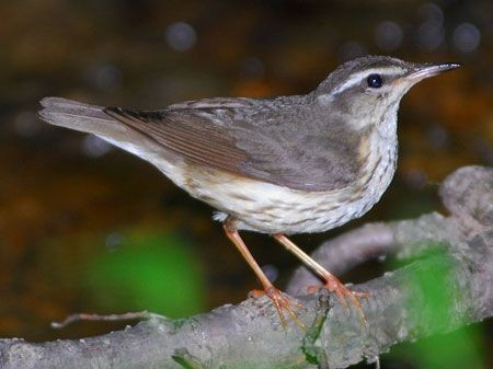 ...while its bright-footed relative, Louisiana Waterthrush, prefers dark ravines.